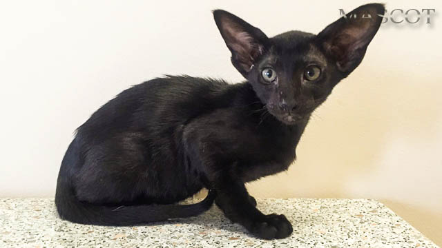 Oriental kittens of black (ebony) color with green eyes