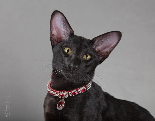 Cat Oriental breeds